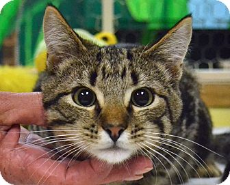 Domestic Shorthair Cat for adoption in Searcy, Arkansas - Fluffy
