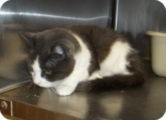 Domestic Shorthair Cat for adoption in Silver City, New Mexico - Yael