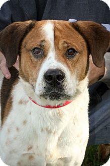 St. Bernard Mix Dog for adoption in Anderson, Indiana - Krueger