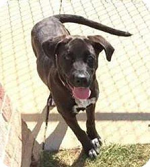 Labrador Retriever/Great Dane Mix Puppy for adoption in Flower Mound, Texas - Breanna