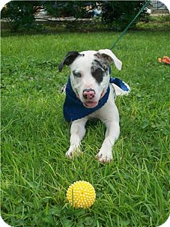 Catahoula Leopard Dog/American Bulldog Mix Dog for adoption in Port St. Joe, Florida - Dixie