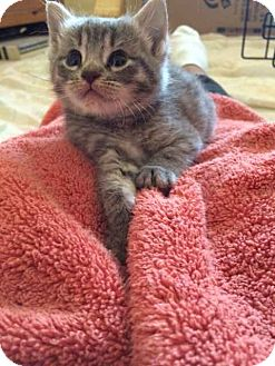 Domestic Shorthair Kitten for adoption in Alamo, California - Ann
