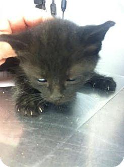 Domestic Shorthair Kitten for adoption in Darlington, South Carolina - Tamara