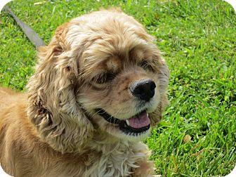 Cocker Spaniel Mix Dog for adoption in Mentor, Ohio - Bonnie 3yr Adopted