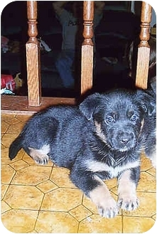 German Shepherd Dog Puppy for adoption in Owatonna, Minnesota - Belle