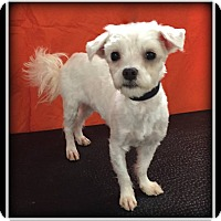Adopt A Pet :: Harri - Indian Trail, NC