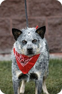 Australian Cattle Dog Mix Dog for adoption in Heber City, Utah - Spinner