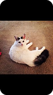Domestic Longhair Cat for adoption in Chattanooga, Tennessee - Deuce