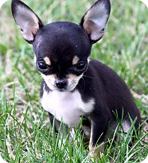 Chihuahua Puppy for adoption in Everett, Washington - tweety