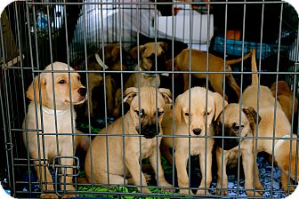 Retriever (Unknown Type)/Anatolian Shepherd Mix Puppy for adoption in Billerica, Massachusetts - Mikey