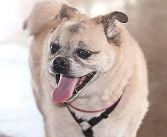 Pug/Shiba Inu Mix Dog for adoption in Gardena, California - Lenny