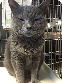 Russian Blue Cat for adoption in Cliffside Park, New Jersey - POOPSEY