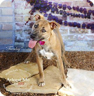 Labrador Retriever Dog for adoption in Lubbock, Texas - Tuesday