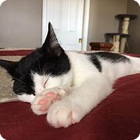 Domestic Shorthair Kitten for adoption in Carlisle, Pennsylvania - Lucy