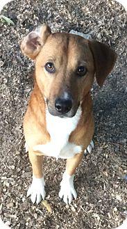 Corgi/Labrador Retriever Mix Dog for adoption in Albemarle, North Carolina - Jaxon