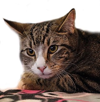 Domestic Shorthair Cat for adoption in Wayne, New Jersey - Cornell