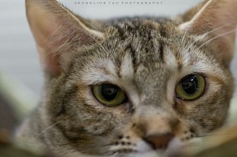 Domestic Shorthair Cat for adoption in Houston, Texas - MISTY