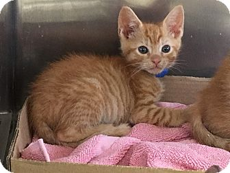 Domestic Shorthair Kitten for adoption in East Brunswick, New Jersey - Cass