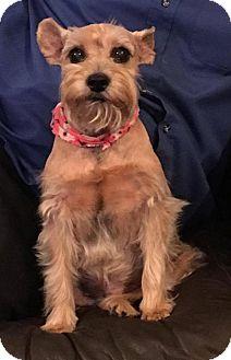 Miniature Schnauzer Dog for adoption in Boerne, Texas - Sophie