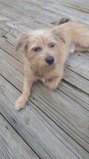 Terrier (Unknown Type, Small) Mix Dog for adoption in Olathe, Kansas - Bentley
