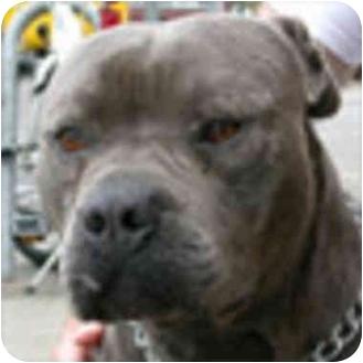 American Pit Bull Terrier Mix Dog for adoption in Berkeley, California - Sammy
