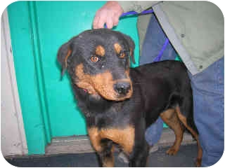 Shepherd (Unknown Type)/Rottweiler Mix Dog for adoption in Broomfield, Colorado - Gloria