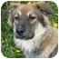 Photo 2 - German Shepherd Dog/Australian Shepherd Mix Puppy for adoption in Los Angeles, California - Lila von Lindberg