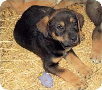 Labrador Retriever/German Shepherd Dog Mix Puppy for adoption in Waller, Texas - Fritz