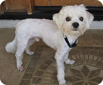 Maltese Dog for adoption in Encino, California - Desi