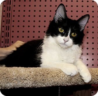 Domestic Mediumhair Kitten for adoption in Phoenix, Arizona - Aha