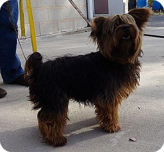 Yorkie, Yorkshire Terrier Dog for adoption in Hagerstown, Maryland - Broady