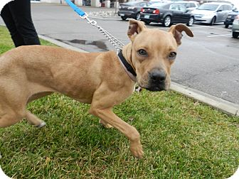 Boxer Mix Dog for adoption in Birmingham, Michigan - Mercy