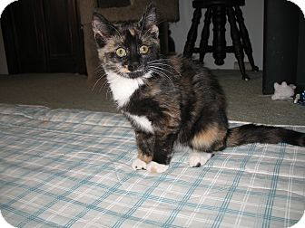 Calico Kitten for adoption in Trevose, Pennsylvania - Gypsie