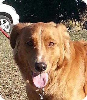 Golden Retriever/Setter (Unknown Type) Mix Dog for adoption in Plainfield, Connecticut - Wiley