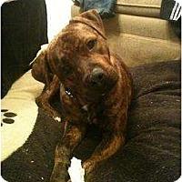 Adopt A Pet :: Bruno - Arlington, TX