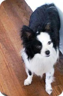 Australian Shepherd Dog for adoption in Overland Park, Kansas - Spike