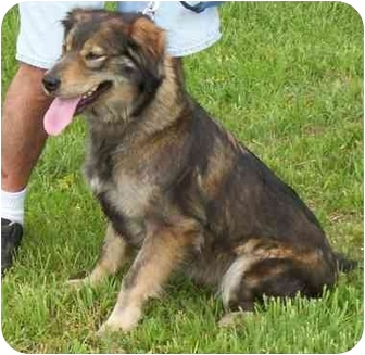 Collie Mix Dog for adoption in Somerset, Pennsylvania - Isabelle