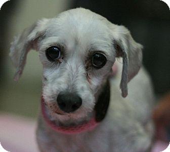 Maltese Dog for adoption in Canoga Park, California - Rosebud