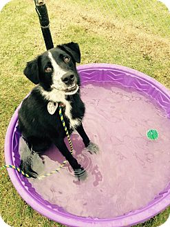 Border Collie Dog for adoption in Vancouver, British Columbia - Chester