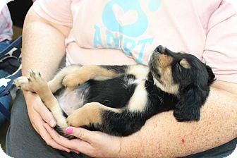Border Collie/Labrador Retriever Mix Puppy for adoption in Macon, Georgia - Meeny