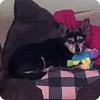 Adopt A Pet :: Tippy - Shawnee Mission, KS