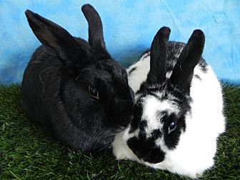 New Zealand for adoption in Pflugerville, Texas - Cleopatra, Victoria