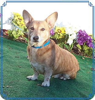 Corgi Dog for adoption in Marietta, Georgia - BRENTLEY see also SCAR FACE