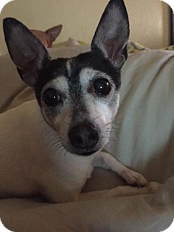 Toy Fox Terrier Dog for adoption in Norman, Oklahoma - Beau