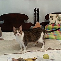 Domestic Shorthair Cat for adoption in Roseville, Minnesota - Bette Alice