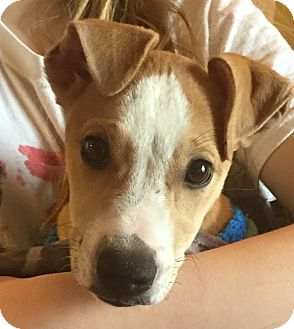 Jack Russell Terrier Mix Puppy for adoption in Middletown, Ohio - Ruthie