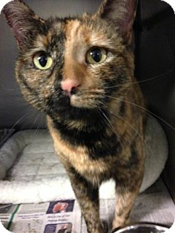 Domestic Shorthair Cat for adoption in Voorhees, New Jersey - Irene Cata - PetValu Marlton