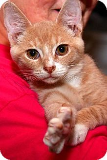 Domestic Shorthair Kitten for adoption in Columbus, Ohio - Jamie