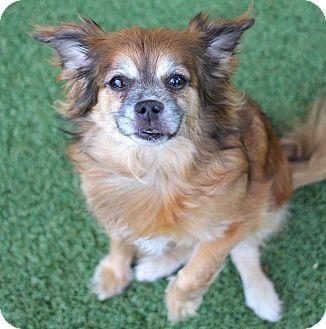 Pekingese/Cavalier King Charles Spaniel Mix Dog for adoption in Los Angeles, California - IZZIE