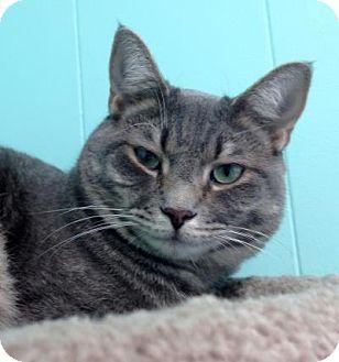 Domestic Shorthair Cat for adoption in Fairfax, Virginia - Buzz